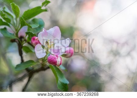 Apple Tree Blossoms Over Blurred Background. Spring Flowers With Sunbeams And Bokeh.