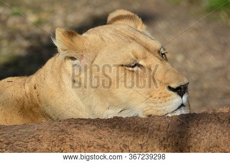Hidden, Dormant Lioness Taking Afternoon  Nap In Golden Hour After Big Meal, Close Up View