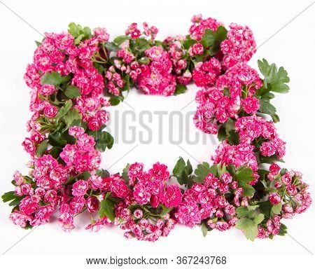 Garland Of Midland Hawthorn (crataegus Laevigata) Branch With Blossoms On A White Background With Te