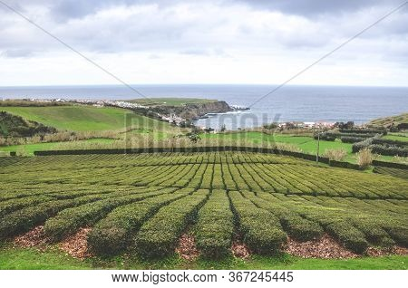 Tea Plantations On The Hill Above The Atlantic Ocean In Porto Formoso, Sao Miguel Island, Azores, Po