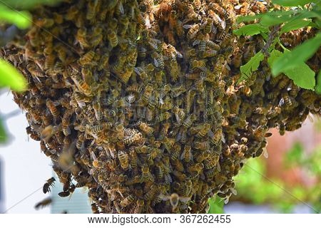 Swarm Of Honey Bees, A Eusocial Flying Insect Within The Genus Apis Mellifera Of The Bee Clade. Swar