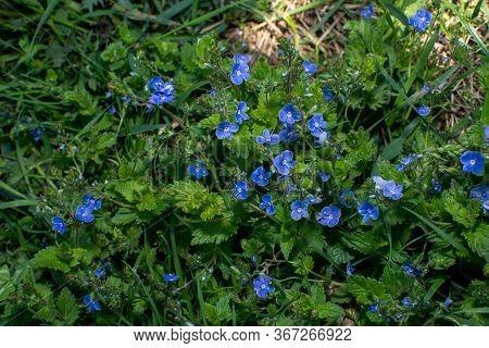 Veronica Chamaedrys - Blue Blossoms Bird's-eye Speedwell, Veronica Chamaedrys.