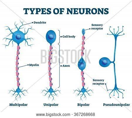 Types Of Neurons Vector Illustration. Labeled Anatomical Nerve Parts Comparison Scheme. Synapses Rec