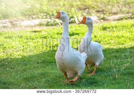 Two White Big Geese Peacefully Walking Together In Green Grassy Lawn On Bright Sunny Day. Domestic G