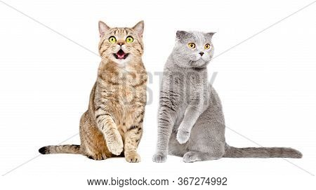 Two Cats Scottish Straight And Scottish Fold Sitting Together With Raised Paws Isolated On White Bac