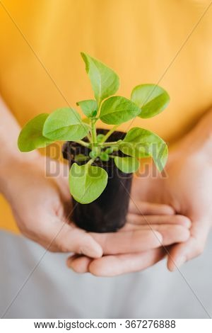 Close-up Of Arms Of Gardener Holding Plant With Ground In Palms. Gardening, Botanical Concept. Selec