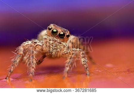 Close Up The Jumping Spider And Pink Background. Jumping Spiders Have Some Of The Best Vision Among