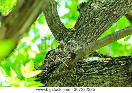 A Bird Feeds The Chicks In The Nest. The Fieldfare (turdus Pilaris) Is A Member Of The Thrush Family
