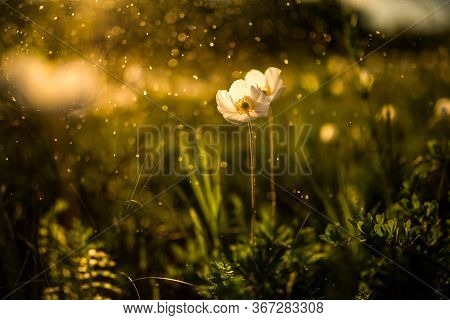 Summer Landscape, Golden Sunset In The Field, On A White Flower Flying Water Droplets Forming A Boke