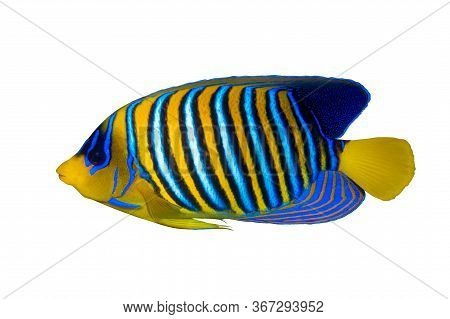 Royal Angelfish (regal Angel Fish), Coralfish Isolated On A White Background. Tropical Colorful Fish