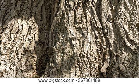 Detail Of The Very Old Poplar Tree Bark
