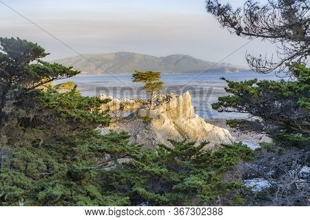 Pebble Beach, Usa - July 26, 2008: Lonely Cypress In Sunset In Pebble Beach, Usa. Since 250 Years Th