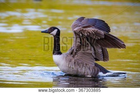 Portrait Of A Canadian Goose Branta Goose Selective Focus Blur