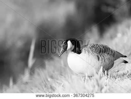 Black And White Portrait Of A Canadian Goose Branta Goose Selective Focus Blur