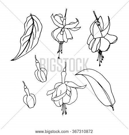 Sketches Of Flowers Fuchsia By Hand Drawing. Fuchsia Flowers And Leaves Vector On White Background