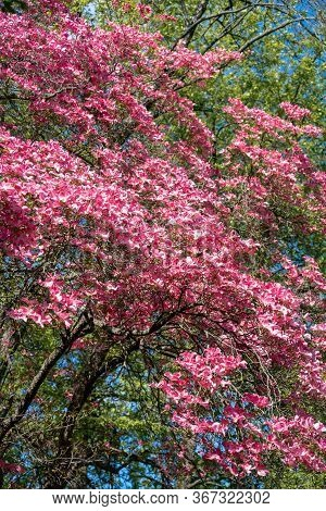 Beautiful Pink Flowers On A Flowering Cornus Florida Rubra  (american Dogwood) In Bright Spring Suns