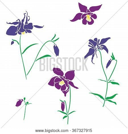 Violet And Pink Flower Of Aquilegia, Columbine Illustration In Flat Style, Isolated On White Backgro