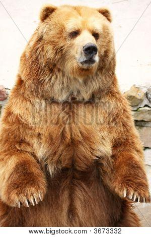 Braunbär standing