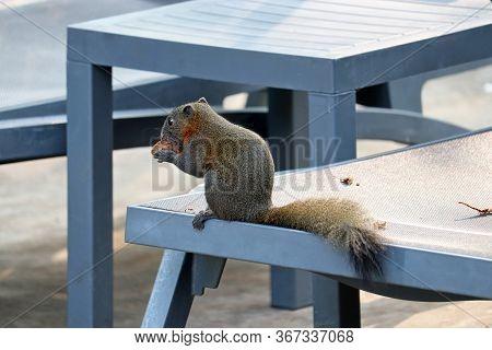 Grey-bellied Squirrel (callosciurus Caniceps) Nibbles A Nut On A Empty Lounge Chair In Thailand. Qua