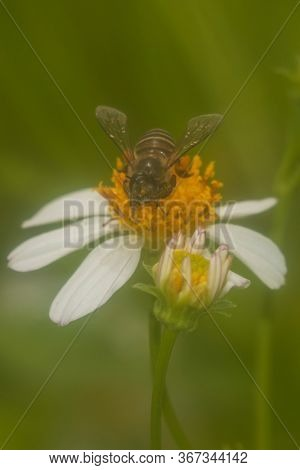 Honey bee pollinating white and yellow flower on green background