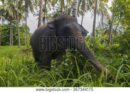 Asian Elephant eating green grass under palm trees