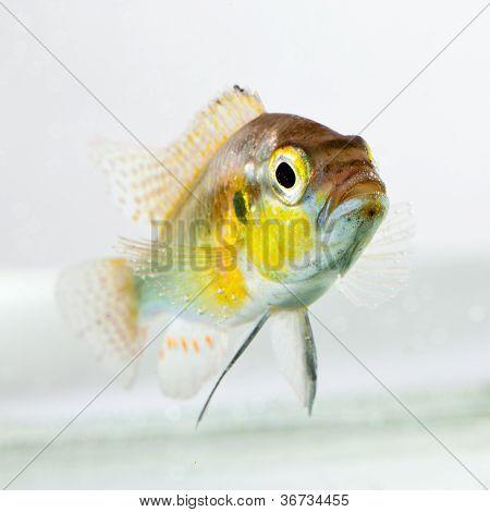 cichlid fish (Geophagus surinamensis) on a white background