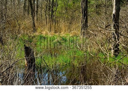 A Small Wetland In A Wooded Area Comes To Life In Early Spring In Northeast Ohio