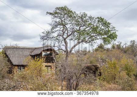 African Bush Elephant Close To House In Safari Lodge In Kruger National Park, South Africa ; Specie