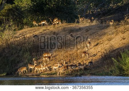 Herd Of Common Impalas In Riverbank In Kruger National Park, South Africa ; Specie Aepyceros Melampu