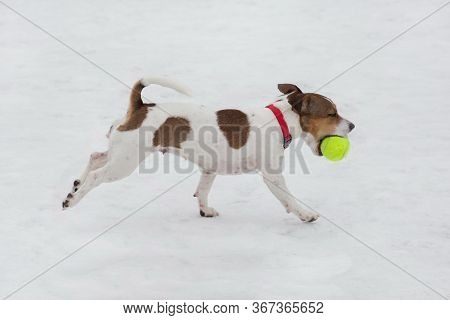 Jack Russell Terrier Puppy Is Running With His Ball In The Winter Park. Pet Animals.