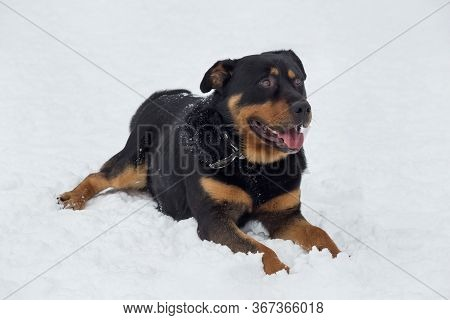 Cute Rottweiler Puppy Is Lying On A White Snow In The Winter Park. Pet Animals.