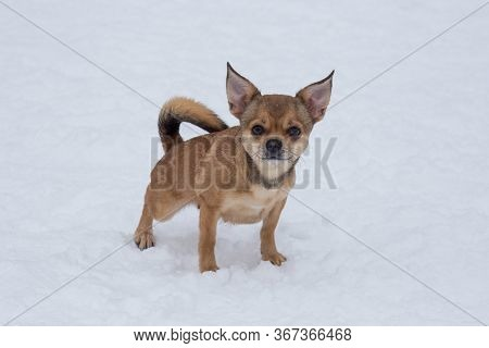 Short Haired Chihuahua Puppy Is Looking At The Camera. Pet Animals.