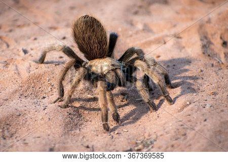 Fuzzy, Brown Tarantula In The Desert Sand