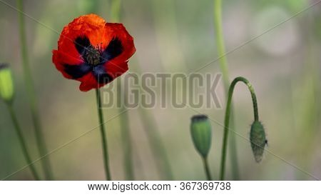 Amazing Beautiful Wild Red Poppies.styling Poppy Originality.reflection Of Light In The Poppy Petals