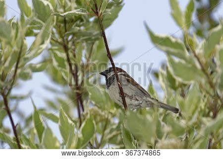 House Sparrow - Passer Domesticus  Male In Dogwood Bush Against Blue Sky