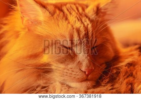 Portrait Of Adult Charming Slumbering Red Maine Coon