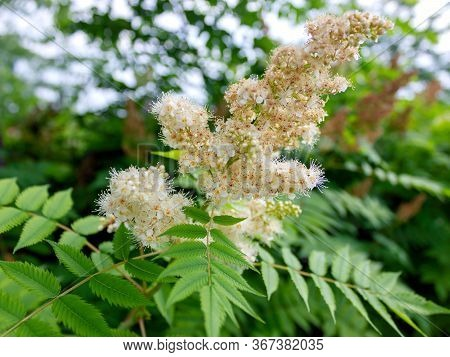 Aesculus Hippocastanum Is The Buckeye, Also Called Horse Chestnuts