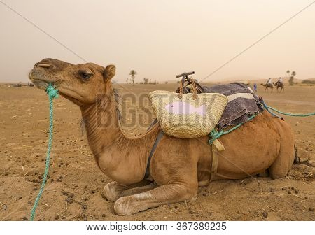 A Camel Ready To Lead Tourists To A Berber Camp In The Desert.