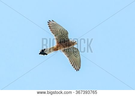 Common Kestrel Falco Tinnunculus Male In Flight Under Blue Sky. Cute Orange Falcon Hovering And Look