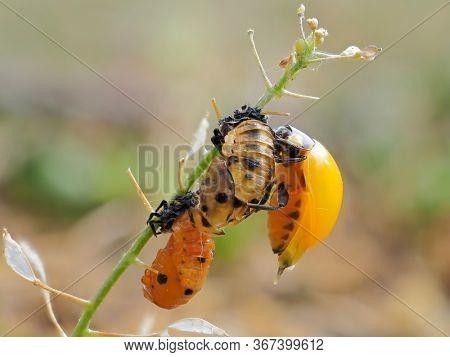 Ladybug larva crawling on green leaf (Coccinella septepunctata)