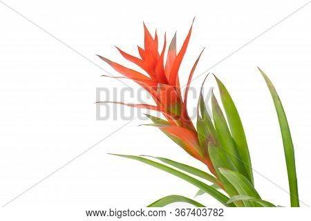 Bromeliad Isolated On White Background. Guzmania Bromeliad