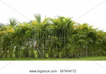 Palm Line Trees Adorned Garden On White Background.