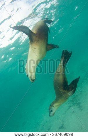 Two Australian Sea Lions underwater