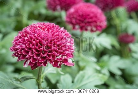 Purple Or Violet Dahlia Flower In Garden On Left Frame In Close Up View. Natural Dahlia Flower Or Da