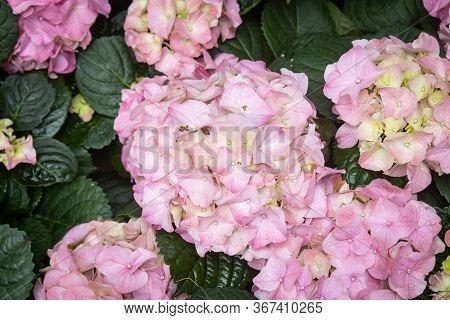 Pink Hydrangea Flower In Garden On Wide Angle View. Natural Hydrangea Flower Or Hydrangea Bouquet Wi