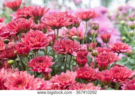 Red Chrysanthemum Flower In Garden In Side View. Natural Chrysanthemum Flower Or Chrysanthemum Bouqu