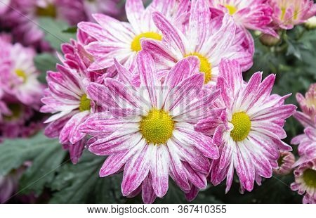 Purple Chrysanthemum Flower And Green Leaves In Garden In Zoom View. Natural Chrysanthemum Flower Or