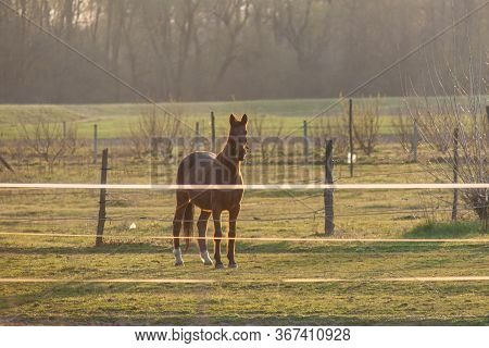 A Magnificent Brown Horse Running Around A Preserved Area On A Grass-covered Meadow