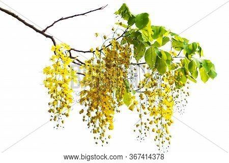 Cassia Fistula. Golden Shower Tree. Beautiful Yellow Flower On White Background.