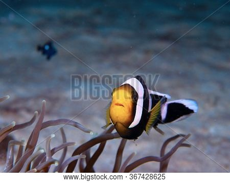 The Clown Fish Is Coming Underwater In Mabul Island In Malaysia